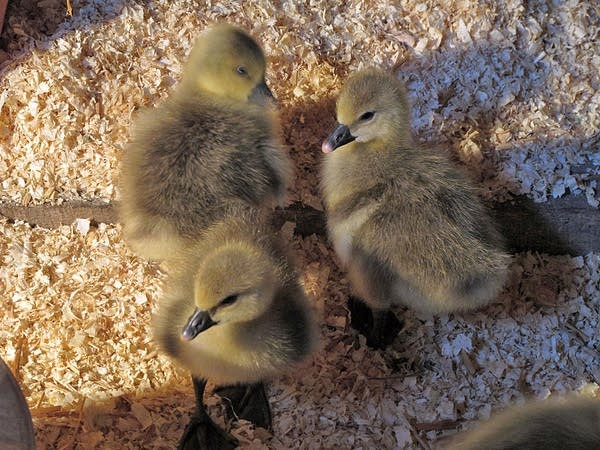 Goslings as weed control
