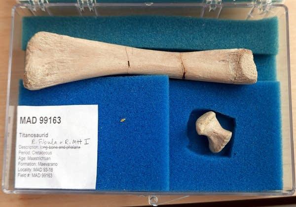 The fossilized fibula bone