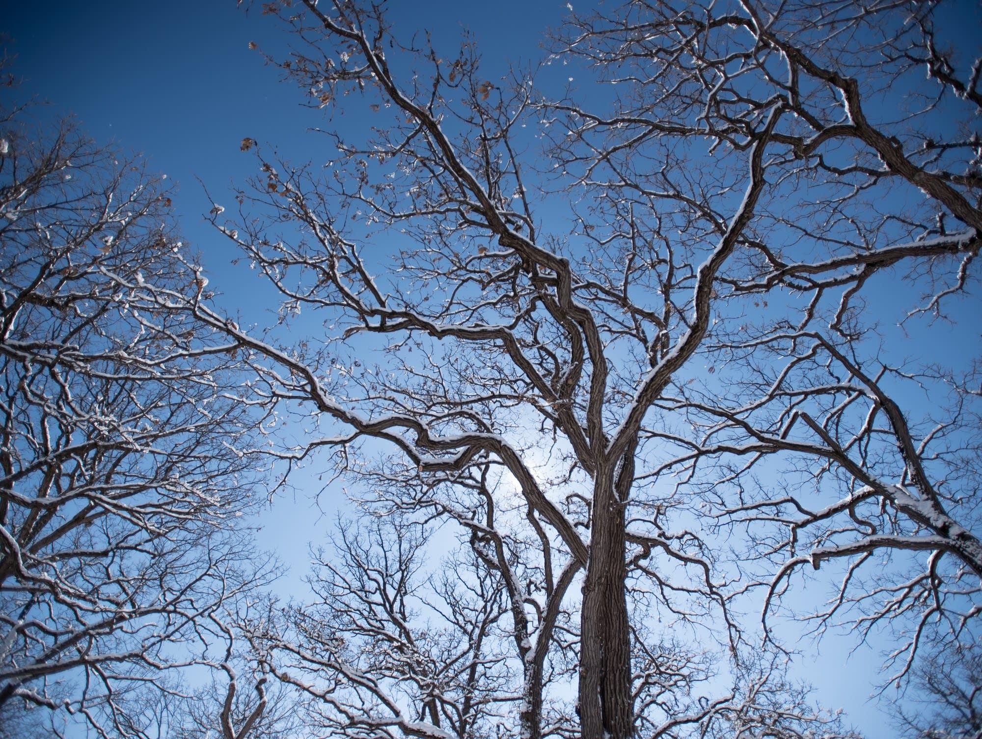 Snow-decked trees at Minnehaha Falls in Minneapolis