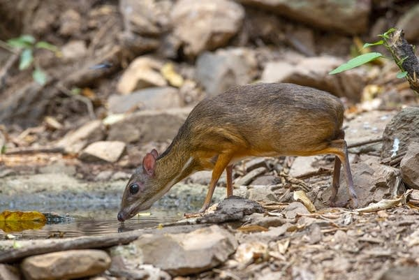"A Chevrotain (or ""mouse-deer"") in the forest."