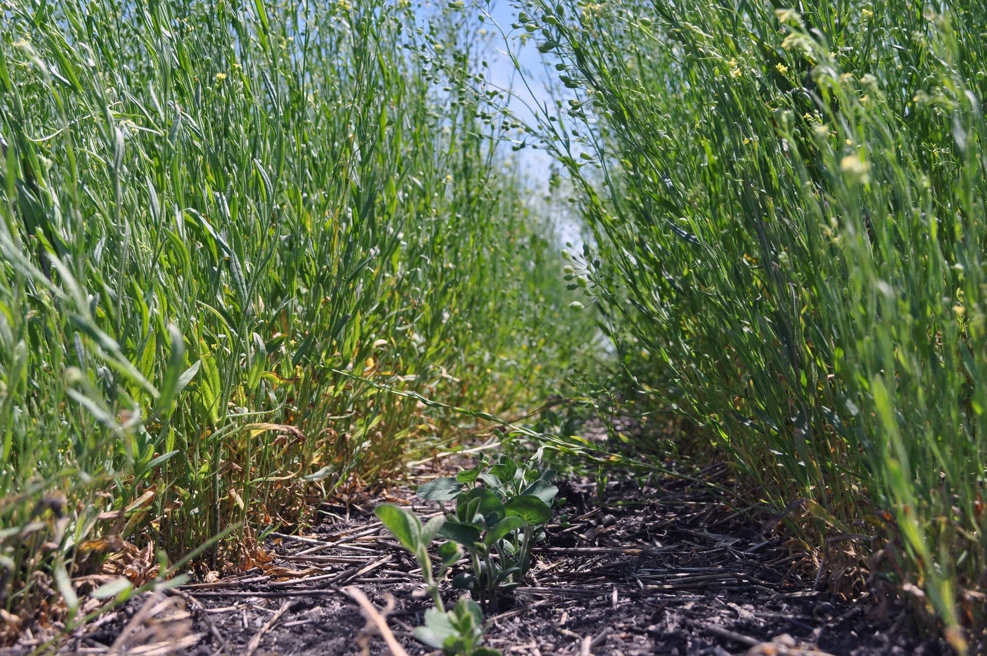 Soybeans grow between rows of Winter Camelina