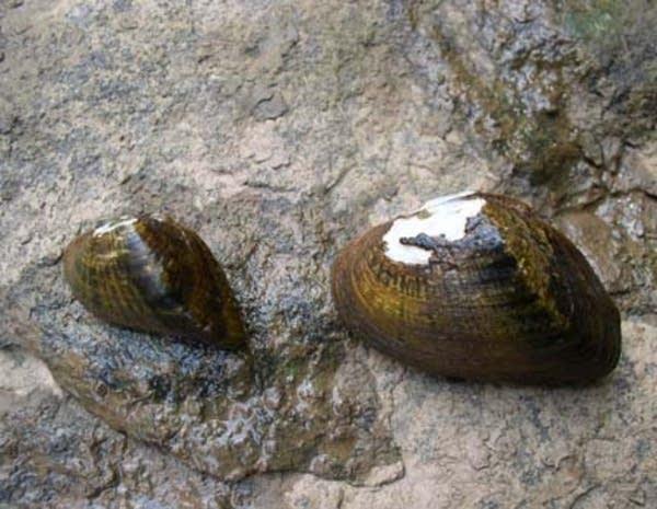 Snuffbox mussels