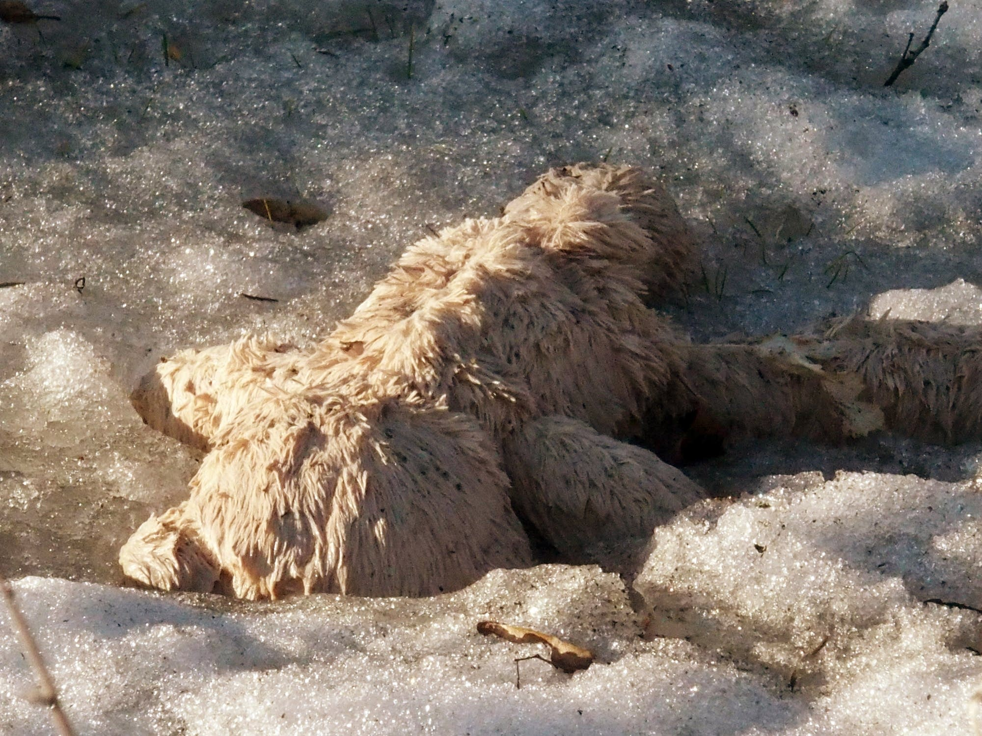 This forgotten teddy bear emerged from a snow drift.