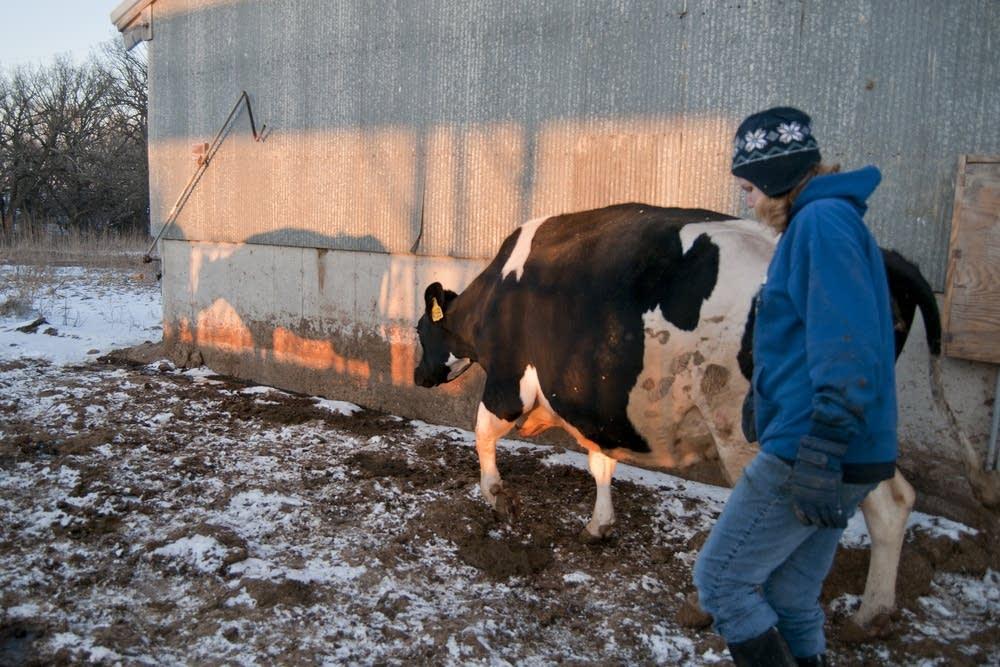 Abby Maasz led dairy cows into the barn.