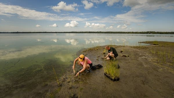 Clouds reflect in the lake as two volunteers plant in the mud.