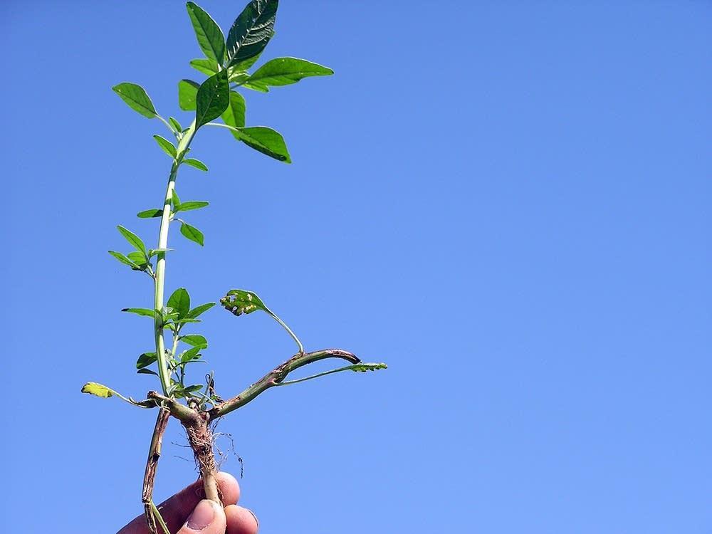 Herbicide-resistant weed