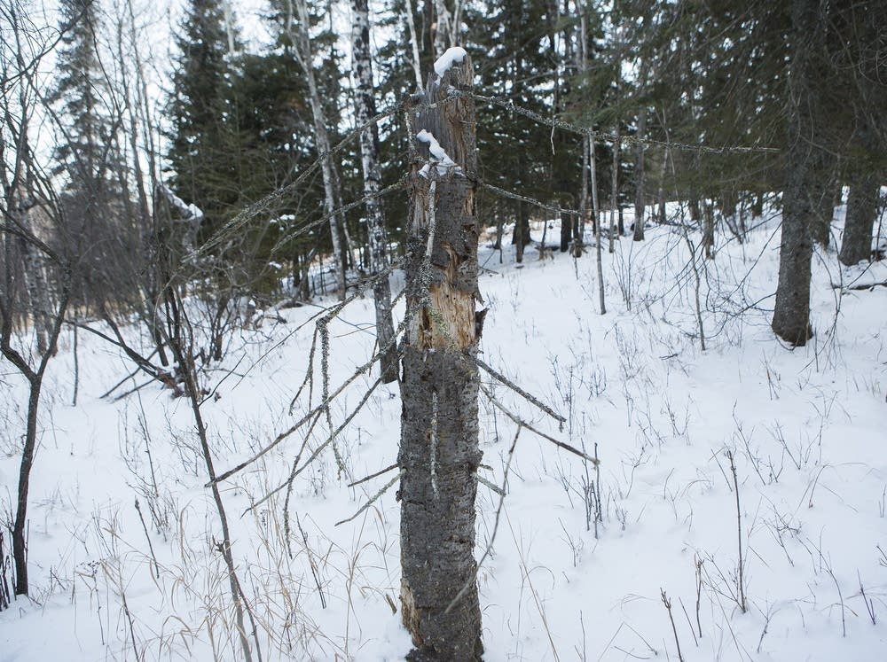 Dead balsam fir