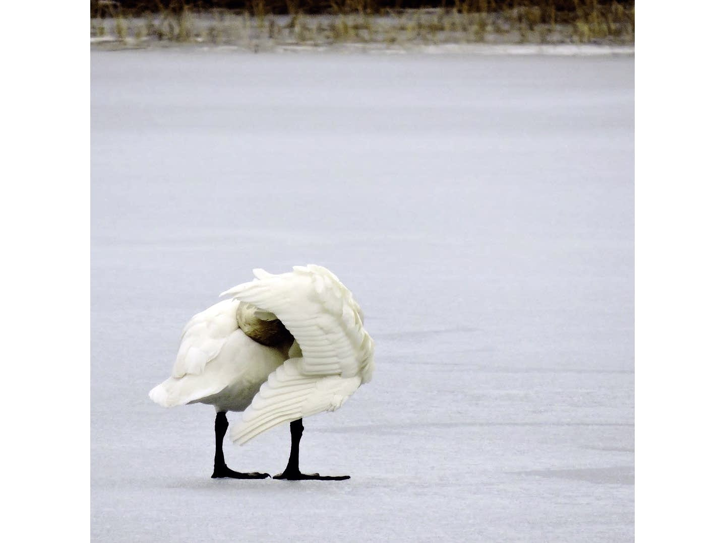Big floppy feet out on the ice. Trumpeter swan.