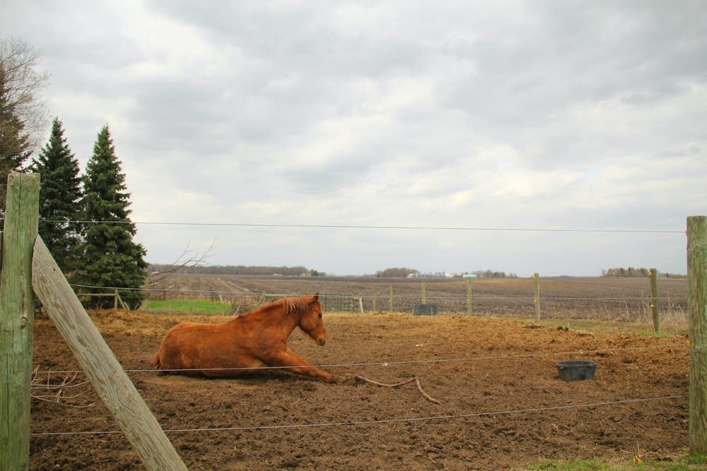 Horse rests on hobby farm