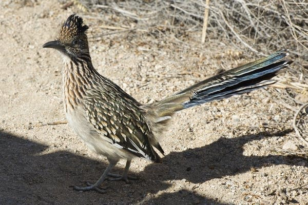 Roadrunner at Joshua Tree National Park