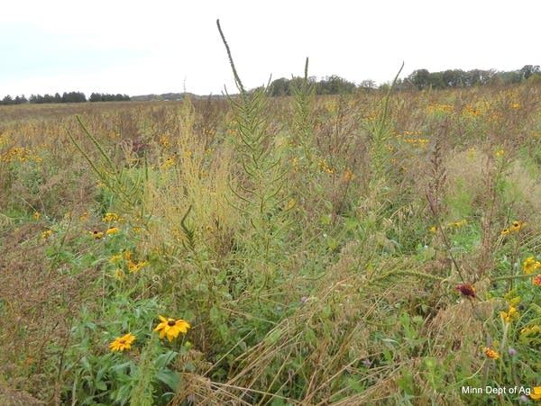 Palmer amaranth in a field