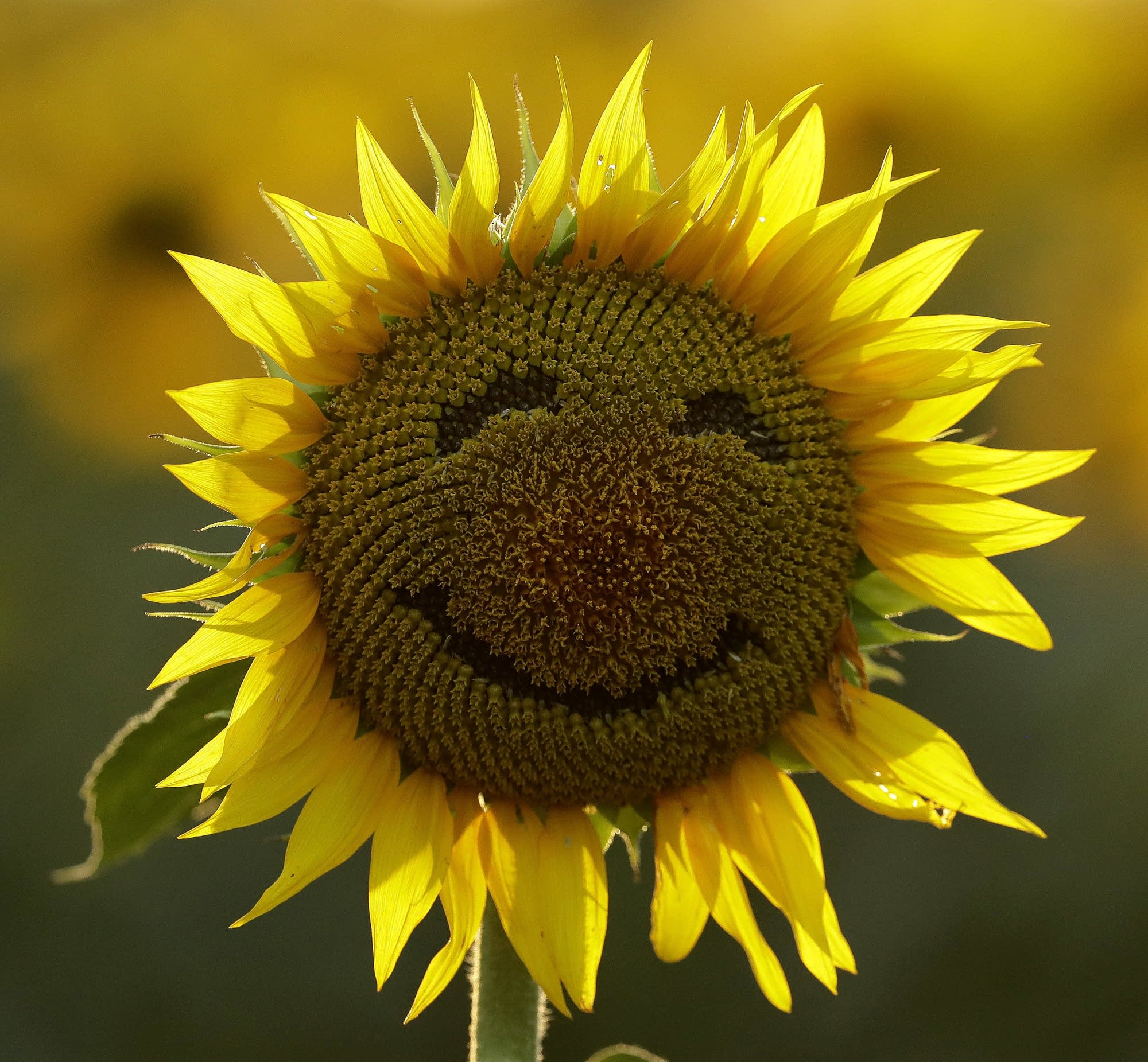 A smiley face is seen on a sunflower