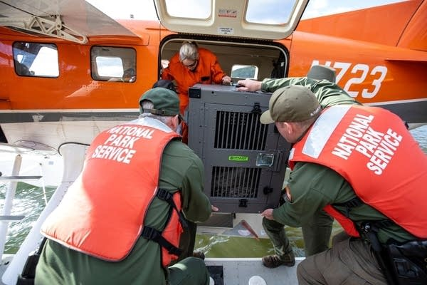 National Park Service staff unload a wolf off of the seaplane.