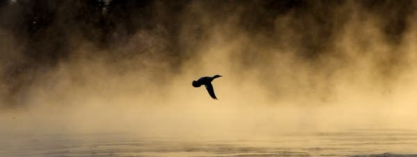 A duck flies over small patches of ice and rising steam.