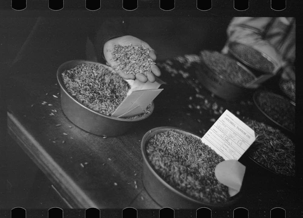Grain buyer examining oat samples