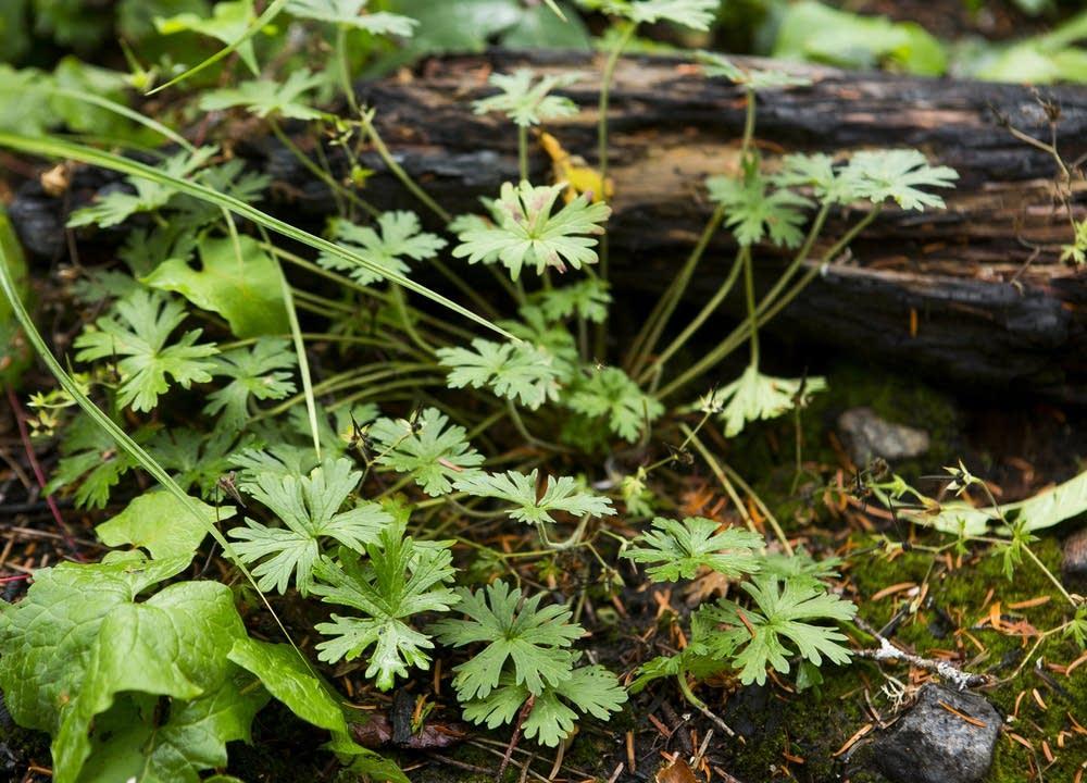 Bicknell's geraniums