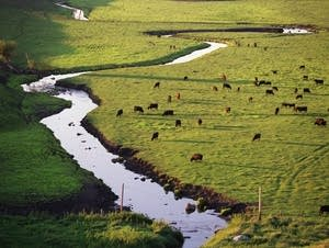 Cattle graze near Redwood Falls, Minn.