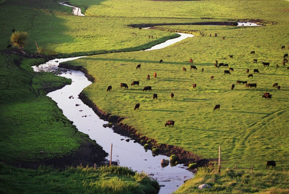 Cattle graze near Redwood Falls, Minn.