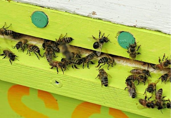 Honeybees entered a hive through a pollen trap.