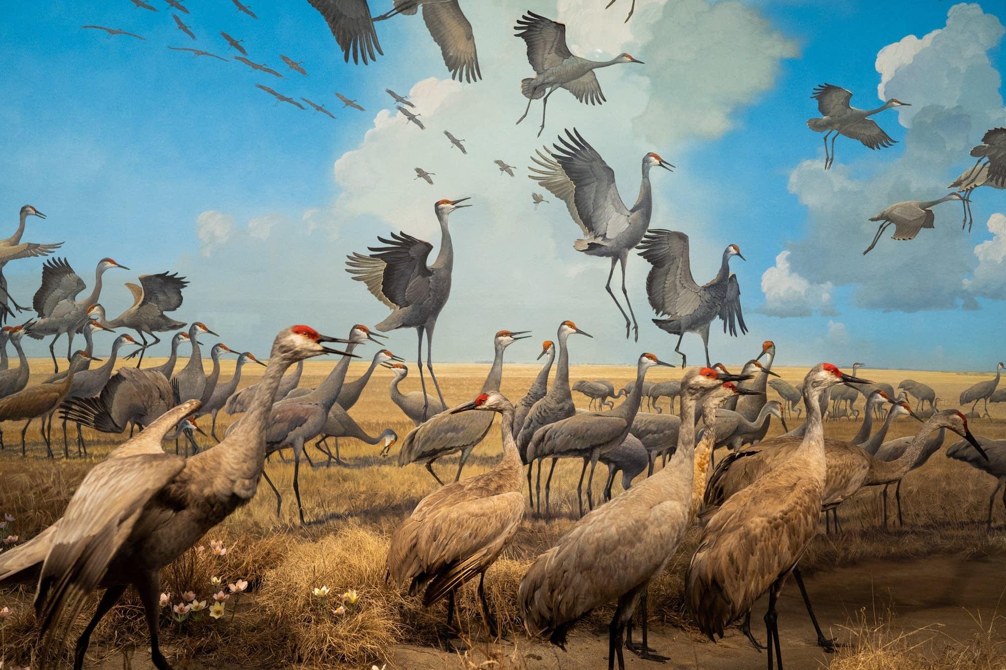Stuffed sandhill cranes fill a diorama inside the Bell Museum.