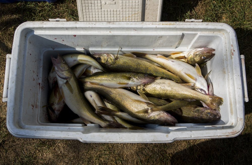 Walleye filled a cooler.