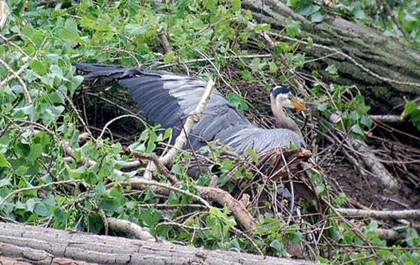Injured heron last year