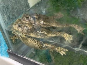 The Wyoming toad is one of the rarest toads in the world.