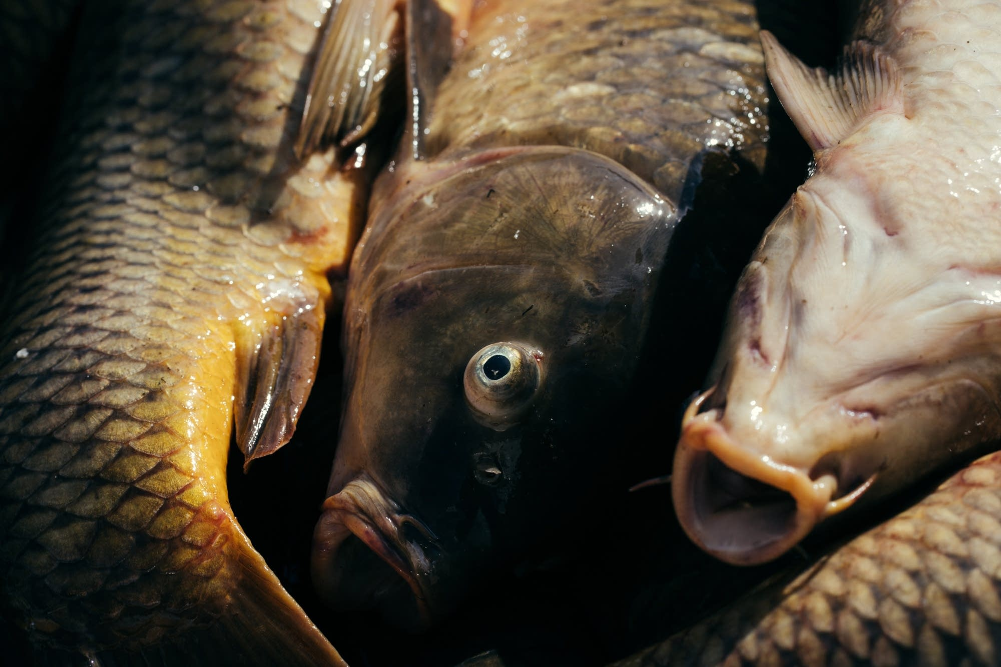 Common carp sit in the back of a pickup truck.