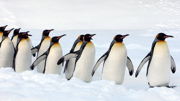 A group of king penguins