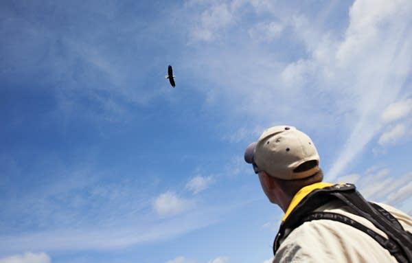 A bald eagle flies over Lake Carlos.