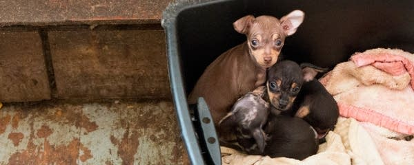 Dozens of Chihuahuas have been removed from a home.