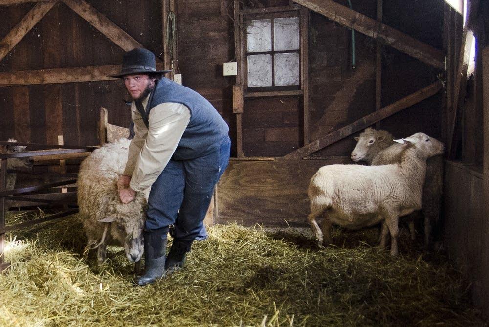 Pulling a sheep
