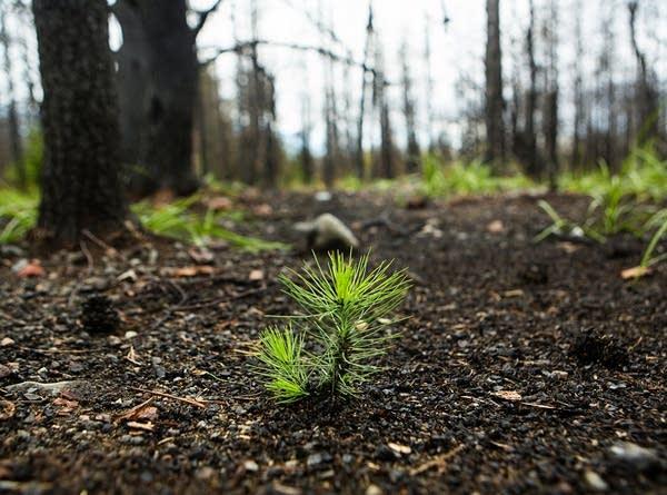 Jack pine seedling