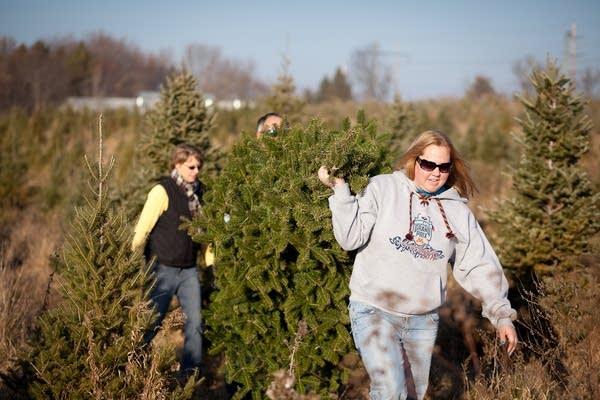 Hauling a tree