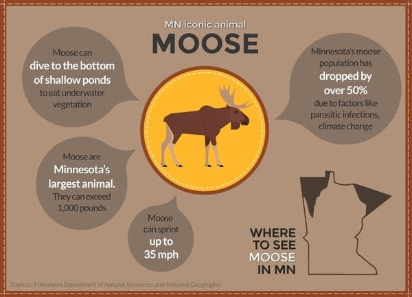 Moose are Minnesota's largest animal.