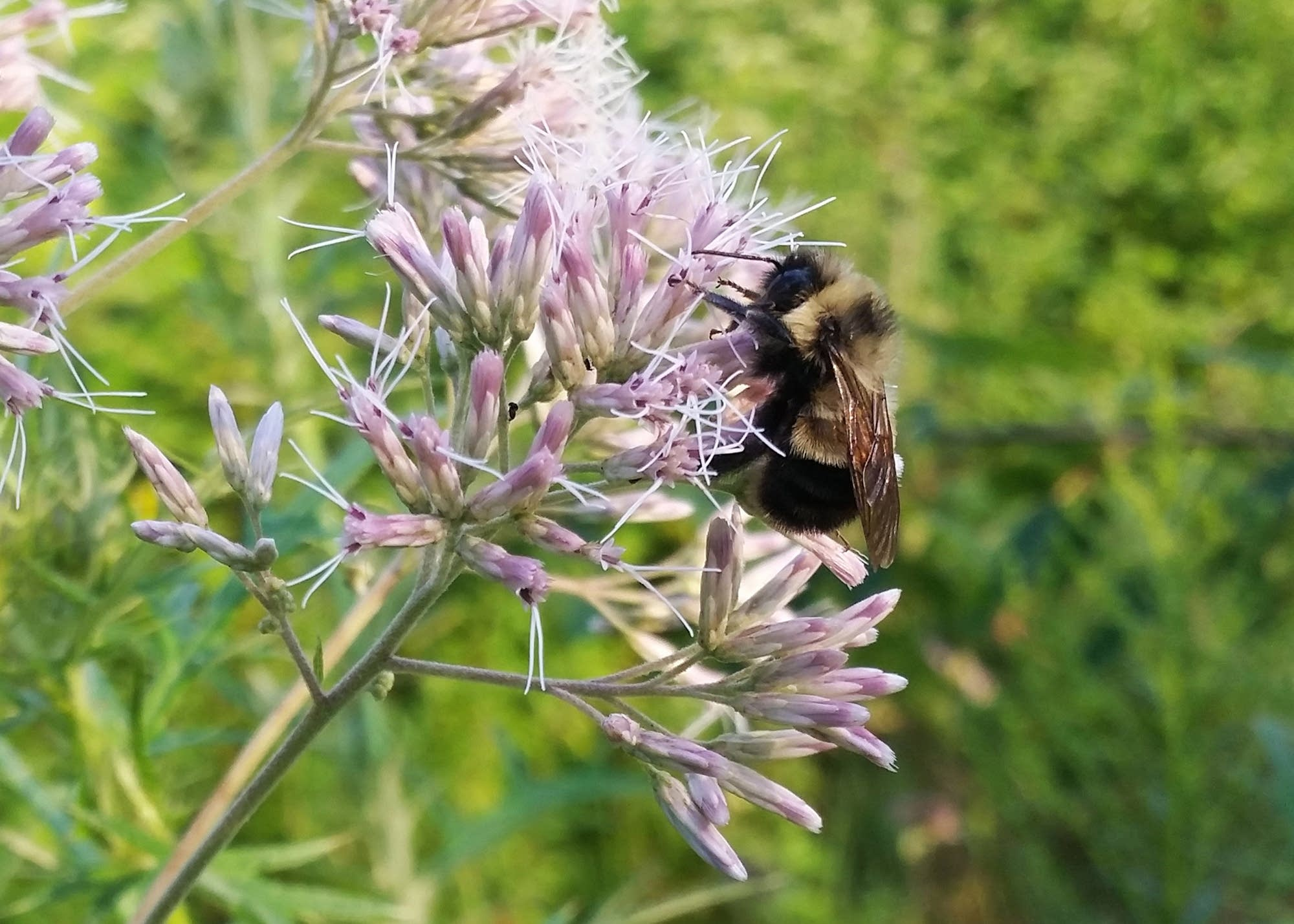 Rusty patched bumble bee collects pollen