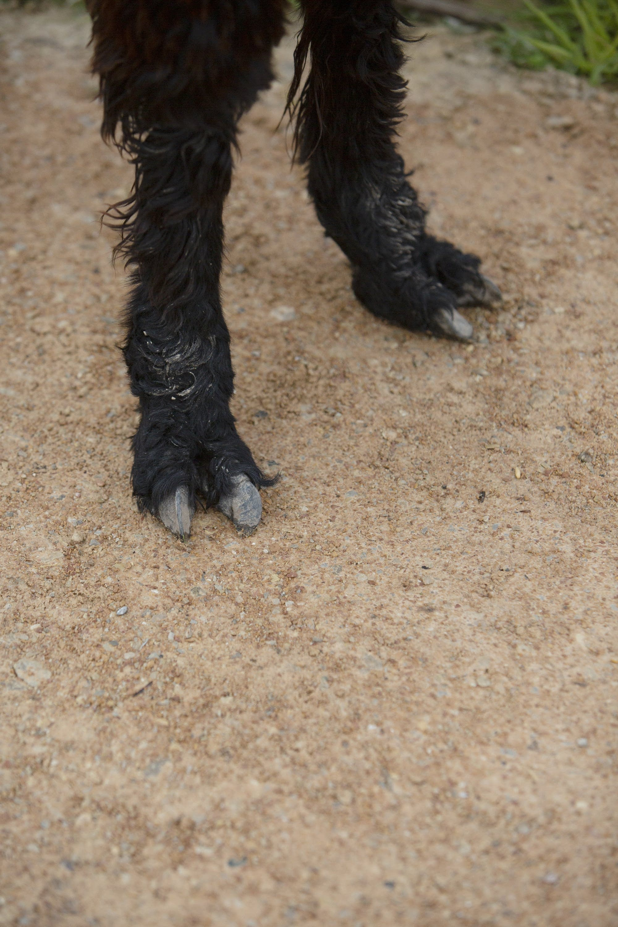 Llamas have two toes on each foot.