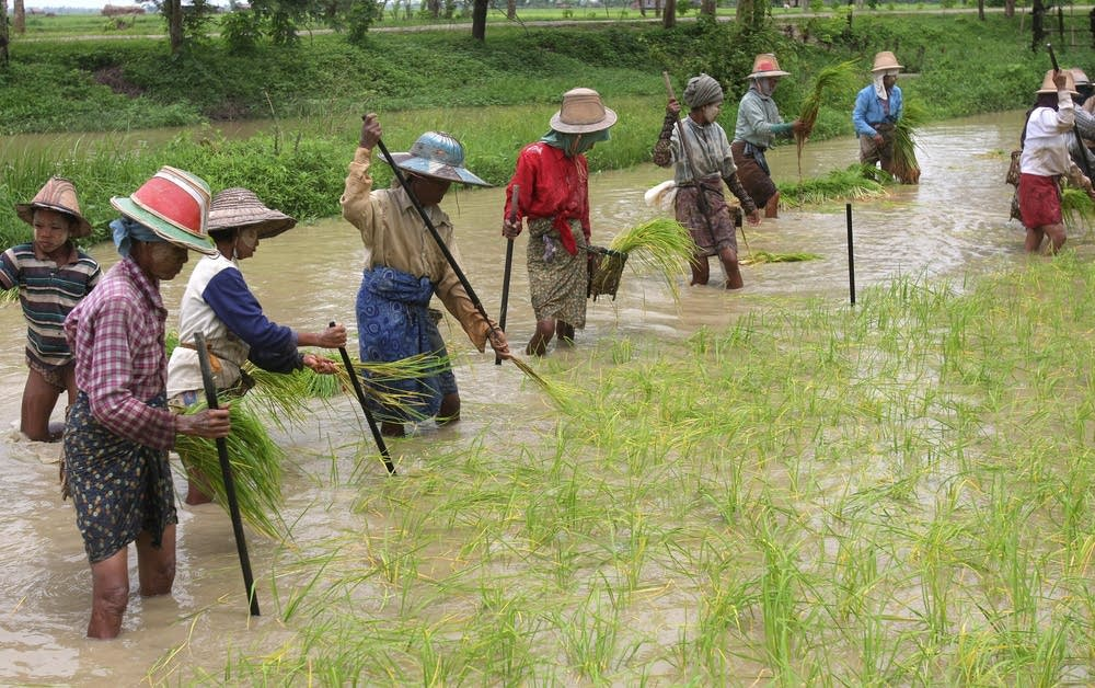 Myanmar women plant rice seedlings in Dalla