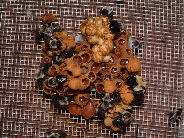 Bumblebee colonies