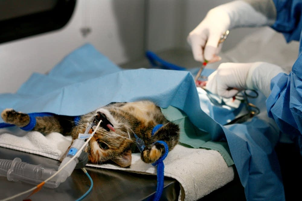 Veterinarian Sue Spence spays a cat