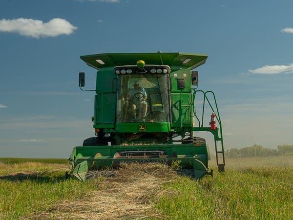 a combine harvests grain