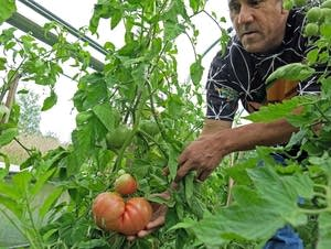 David Manuel runs the Red Lake test garden.