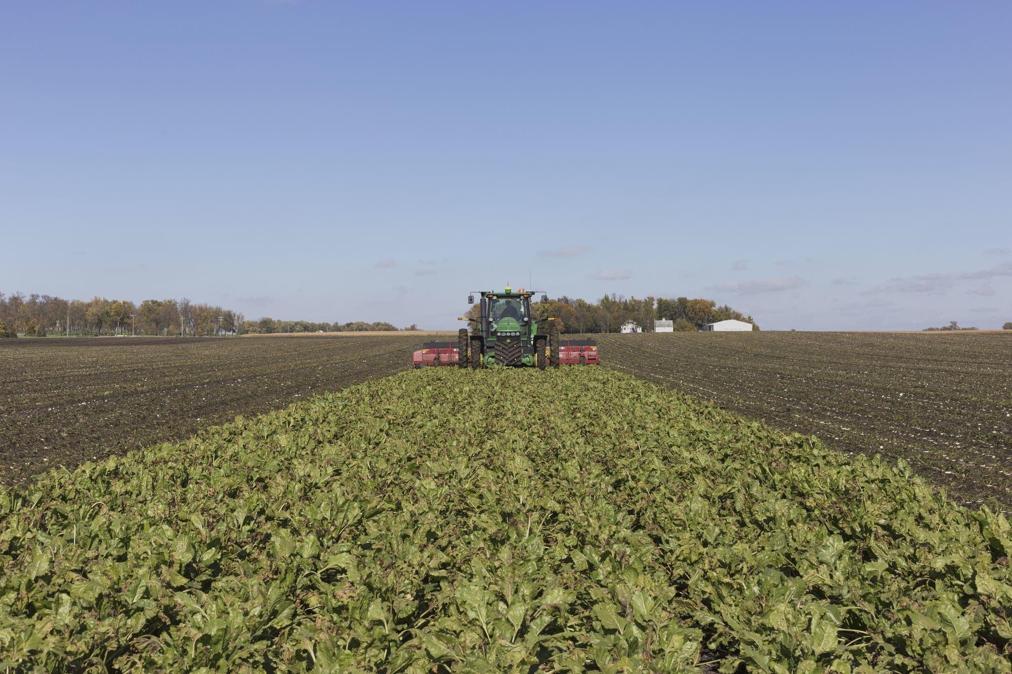Brian Ryberg harvests sugar beets at his farm in Hector, Minn.