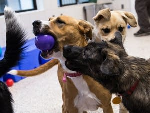 Two dogs go after a ball in the new group housing program for dogs.