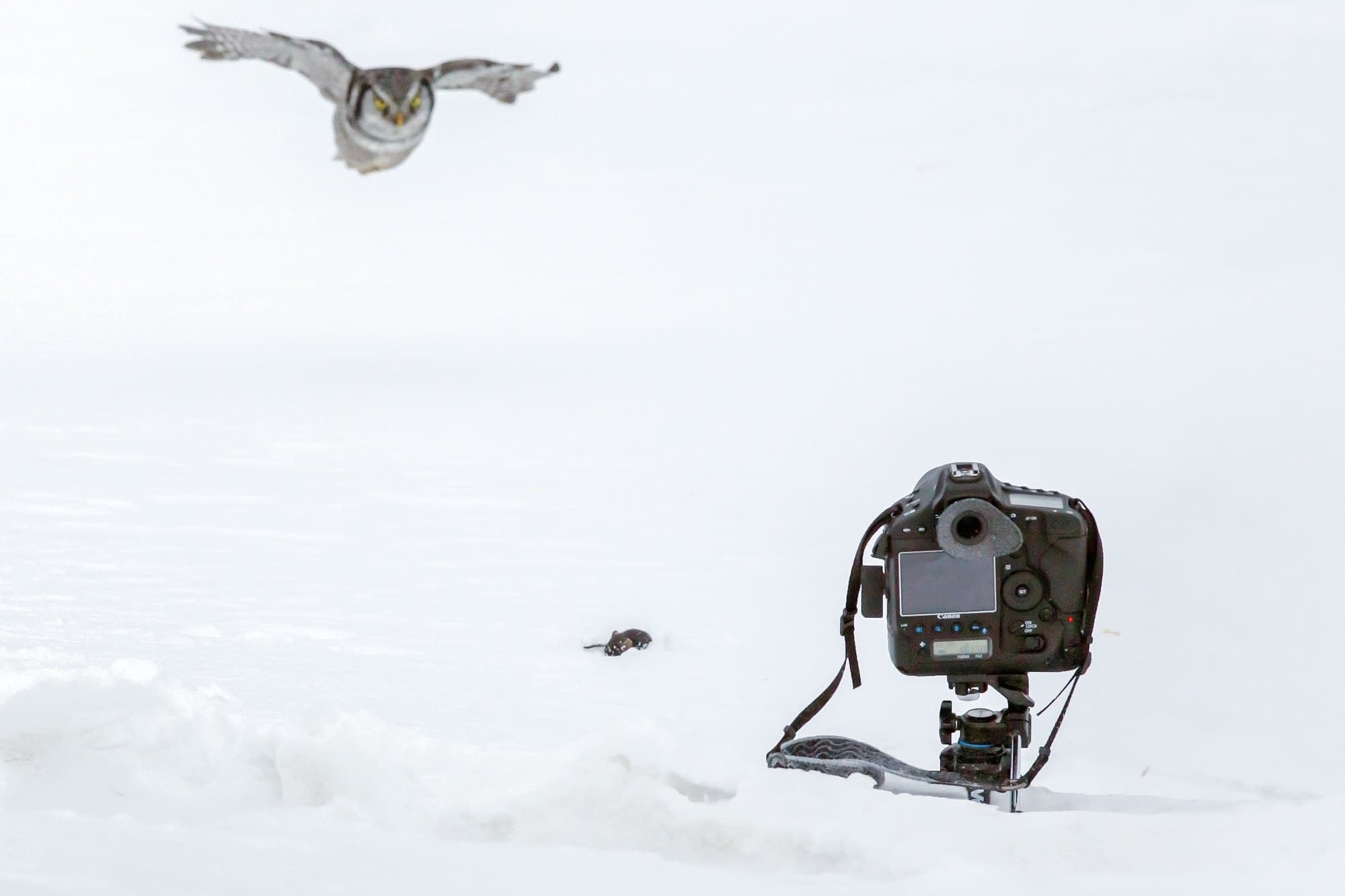 A Northern Hawk owl is baited into coming close to the camera.