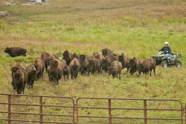 Corralling bison