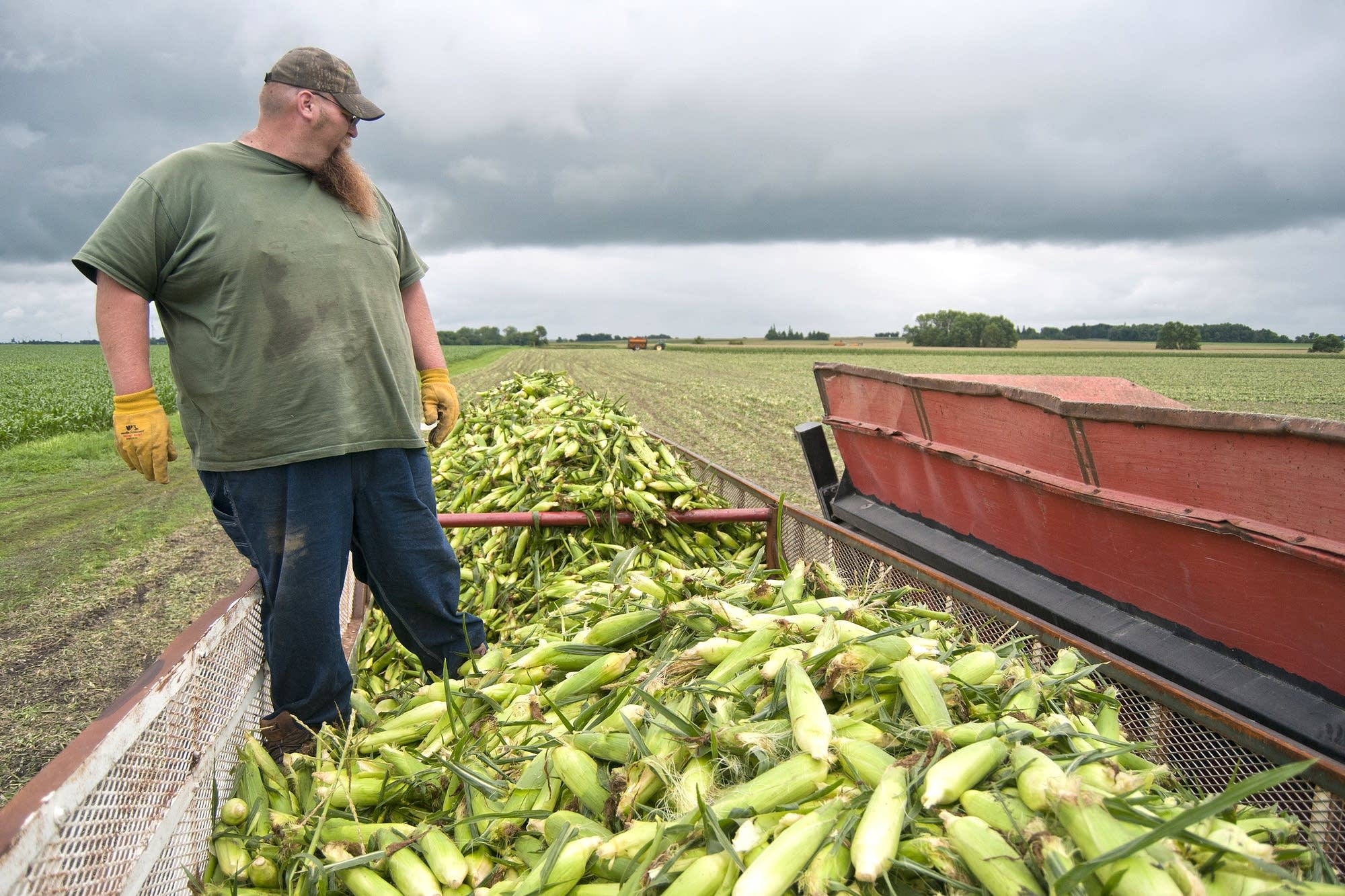Shane Bauer looks over the sweet corn.