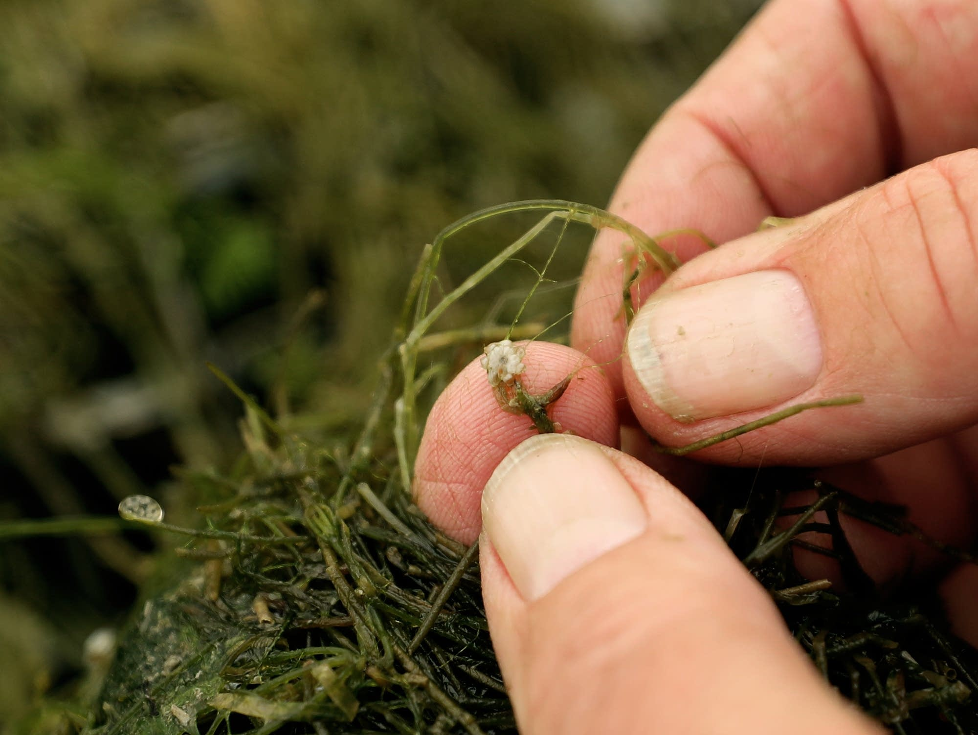 The unique aspect of starry stonewort is the star-shaped bulbs.
