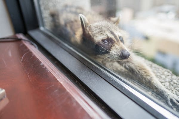 A raccoon stretches out on a windowsill high above downtown St. Paul,