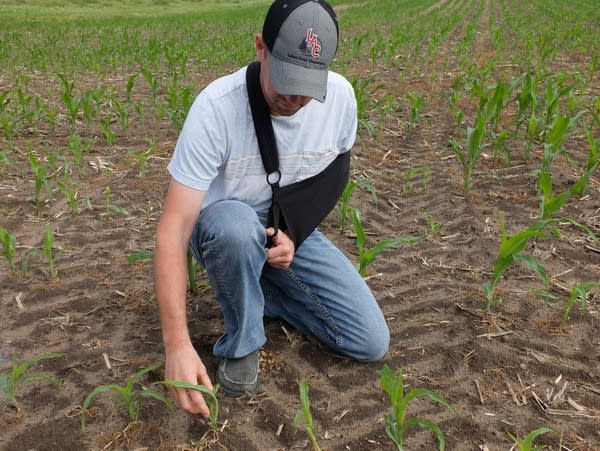 a man examines corn plants in a field